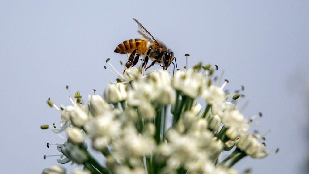 Hotel per le api e autostrade del miele, così l'Olanda tutela i suoi impollinatori