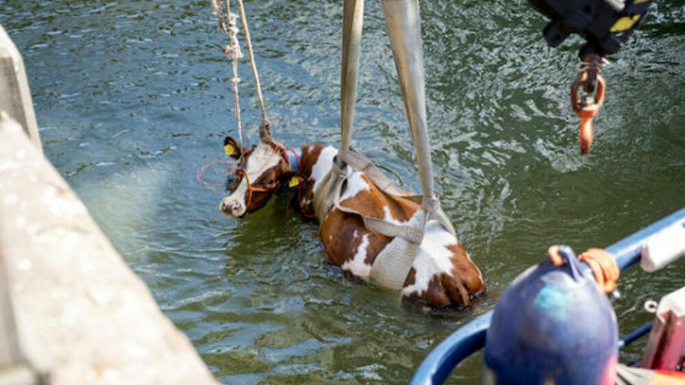 Due mucche cadono in acqua, appello per la chiusura della fattoria galleggiante