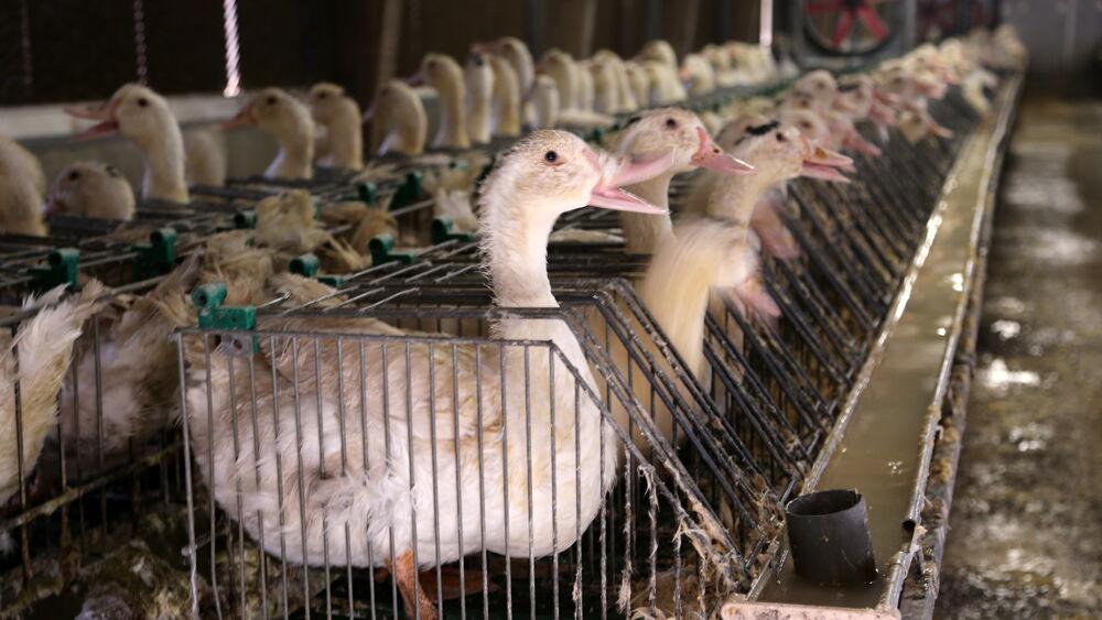 Addio foie gras, Londra vuole vietarne il commercio: troppa crudeltà per produrlo
