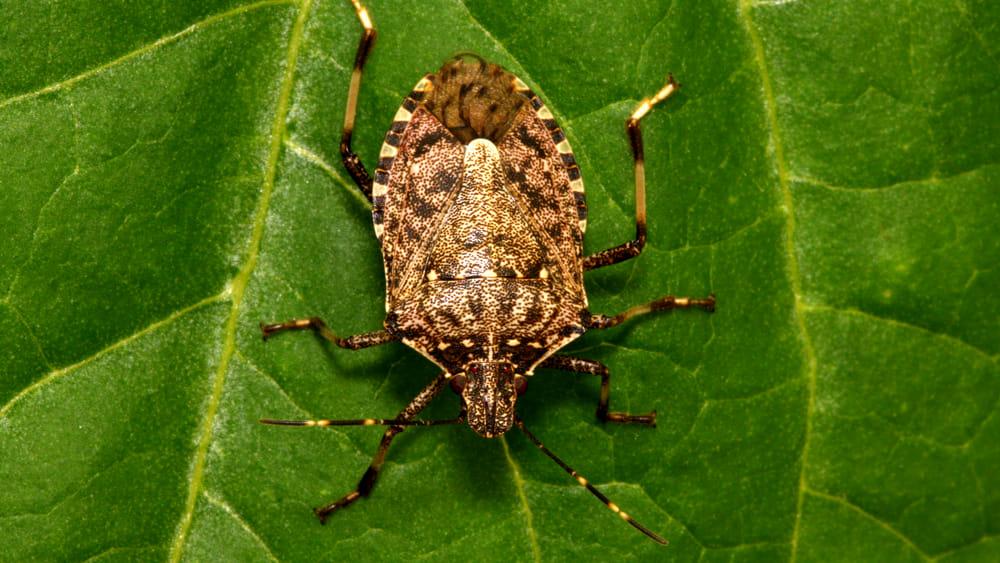 Buone notizie per la frutta italiana: la vespa samurai sta uccidendo la cimice asiatica
