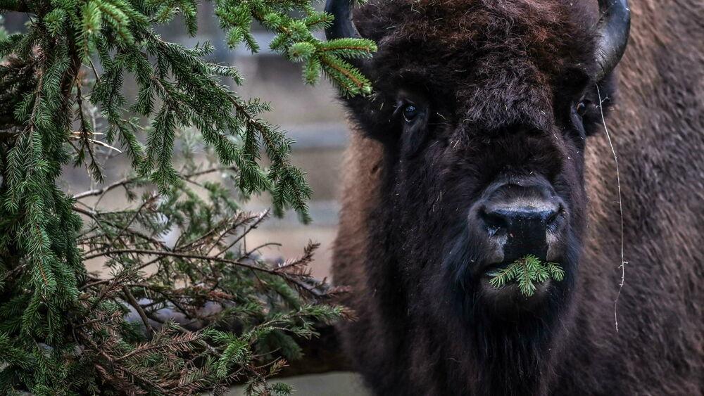In Spagna tornano i bisonti selvatici, e potrebbero aiutare a fermare gli incendi estivi