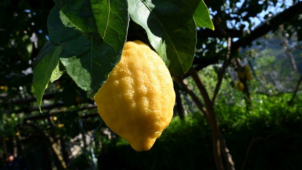 Dagli scarti del limone integratori per prevenire diabete e obesità