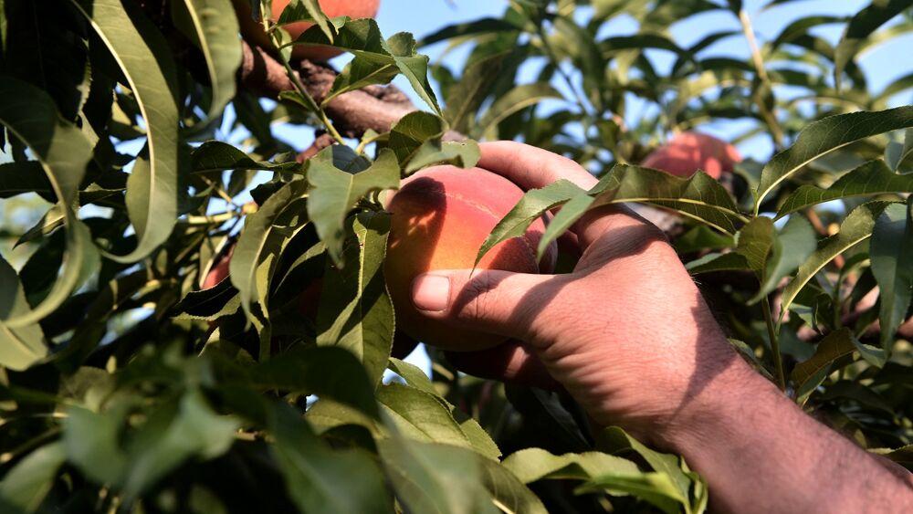 Il clima anomalo ha fatto perdere un terzo della frutta italiana