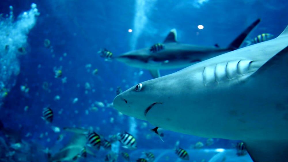 """""""Salvate gli squali dallo sterminio per produrre i vaccini per il Covid-19 e l'influenza"""""""
