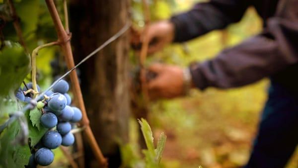 Clima, perché il vino italiano è a rischio
