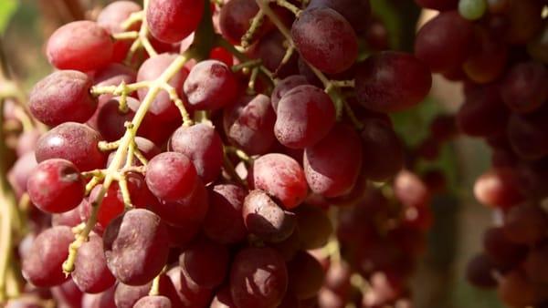 L'uva fa bene alla salute. Ed è buona anche con la faraona
