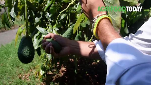 Dal Brasile alla Sicilia: la scommessa (vinta) dell'avocado di Trinacria