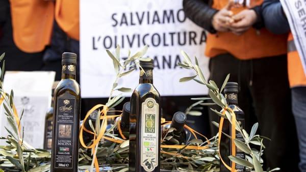 """""""Contro la Xylella eradicare gli ulivi e sostituirli con piante resistenti è l'unica soluzione"""""""