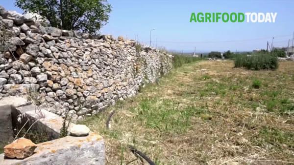 L'orto tra le tombe messapiche che sfida la siccità. Grazie ai resti del passato