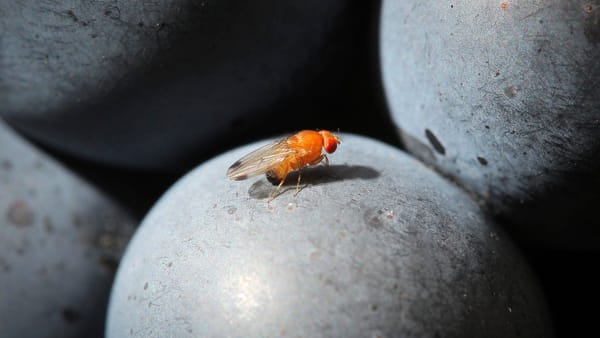 "La Drosophila suzukii, moscerino ""killer"" di frutti come l'uva"