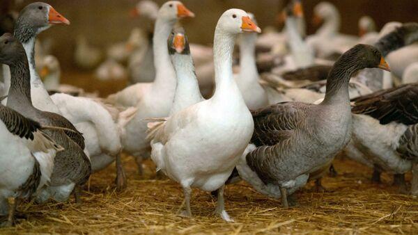 """Londra vuole bloccare le importazioni del """"crudele"""" foie gras, rivolta dei produttori francesi"""