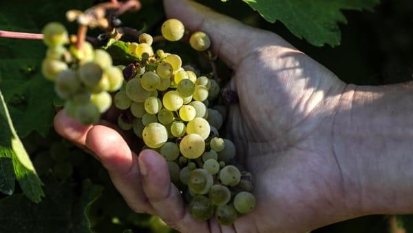 L'innovazione va verso il Prosecco senza pesticidi: in campo le piante di Glera resistenti alle malattie