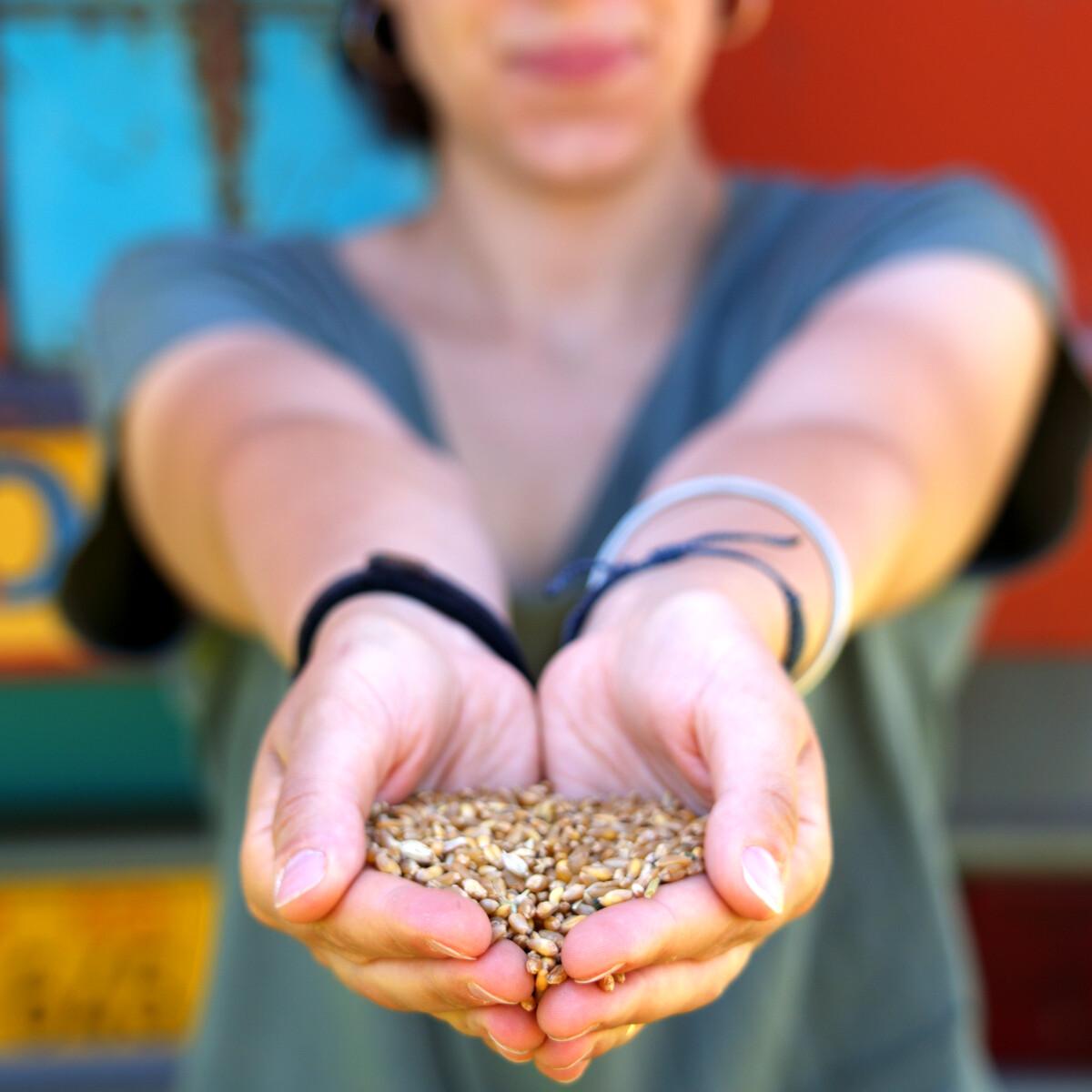 Il grano duro senza residui di pesticidi è possibile: la sfida del distretto della Martesana