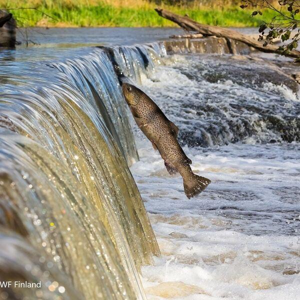 I salmoni di allevamento stanno mettendo in pericolo la sopravvivenza di quelli selvatici